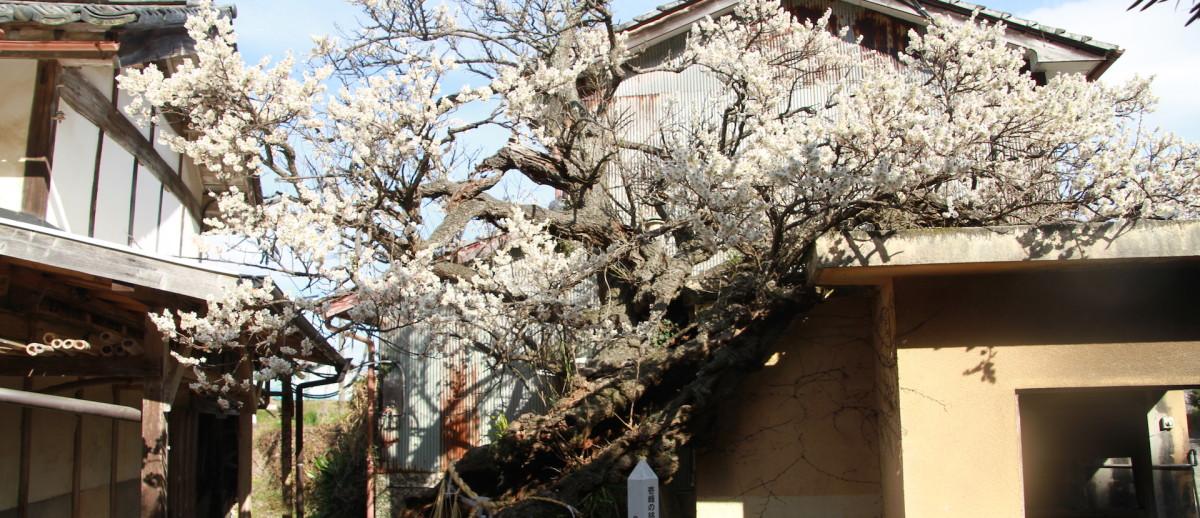 市村家の梅の老木
